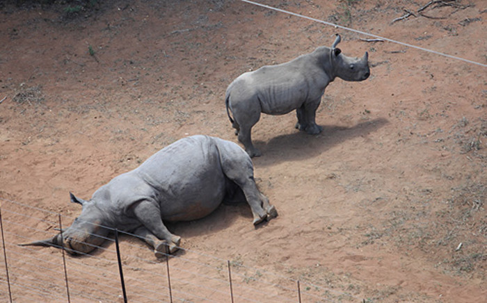 A rhino calf stands next to its mother after being killed by poachers at the Finfoot Lake Reserve in the Brits district. Picture: EWN.