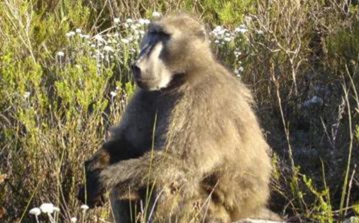 Speeding roadsters are endangering lives at the Kruger National Park. Picture: Jenni Trethowan/Baboon Matters