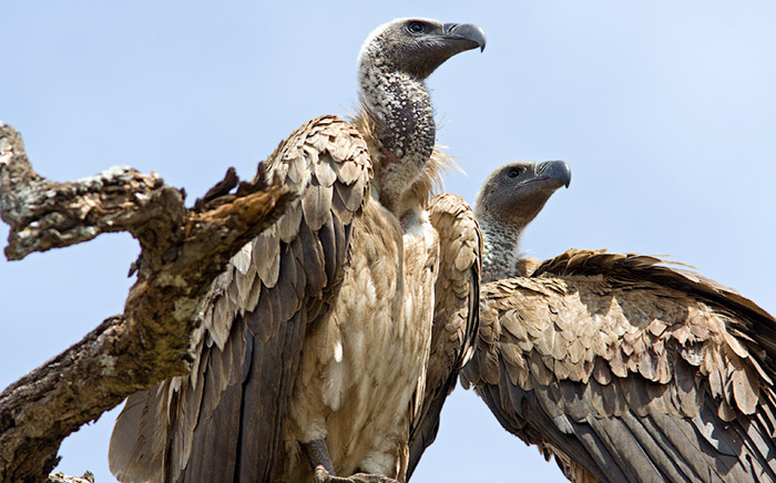 More than a hundred vultures at the Kruger National Park have died. Picture: Facebook.