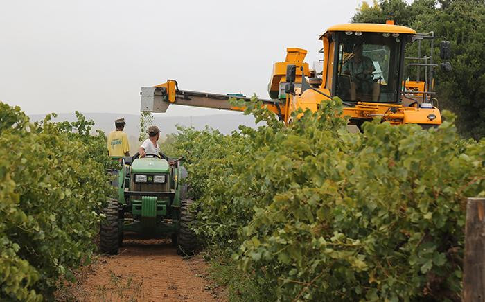 A farmer in Vredendal, Western Cape harvests grapes with a quality decline of up to 30% due to the current drought. Picture: Christa Eybers/EWN