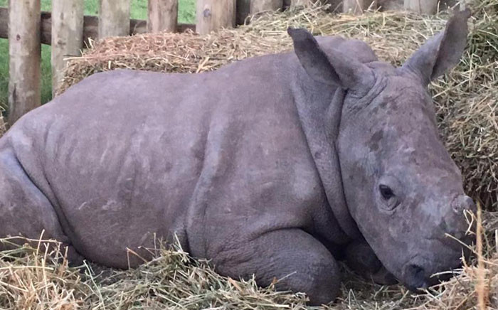 One of the two orphaned rhino calves, Binky, who survived a poaching attack at an Eastern Cape reserve. Picture: Facebook