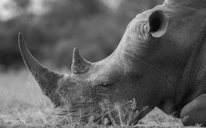 FILE: A black rhino. Picture: Pixabay.com