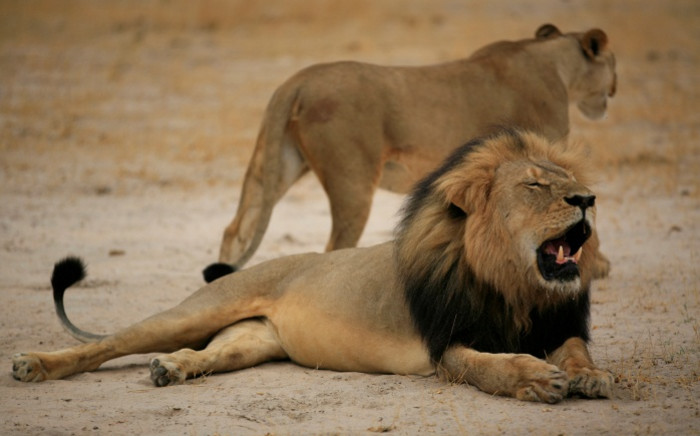 This handout picture taken in October 2012 and released on 28 July 2015 by the Zimbabwe National Parks agency shows the much-loved Zimbabwean lion called Cecil, who was shot and killed outside the Hwange National Park this month by a US dentist. Picture: AFP.