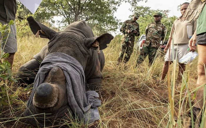 FILE: A sedated rhino has its GPS tags checked to make sure they match its DNA sample. Picture: EWN