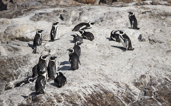 A colony of penguins is seen on St Croix island in Algoa Bay outside Port Elizabeth, on 8 July 2020. Picture: AFP