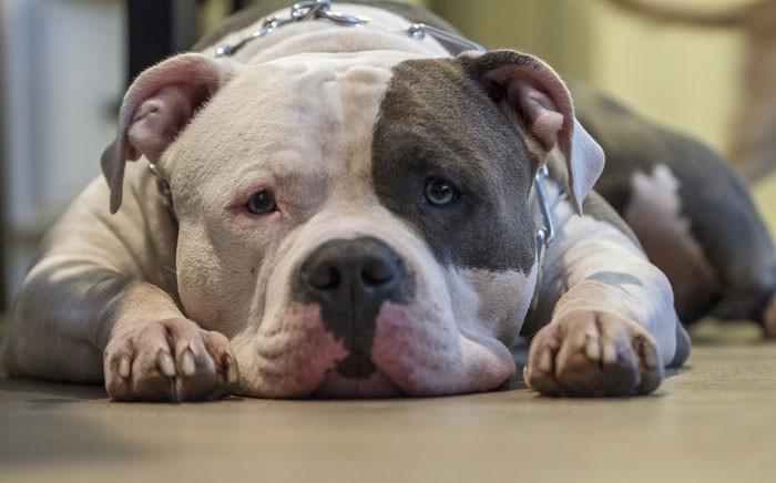 FILE: A pitbull. Picture: pixabay.com