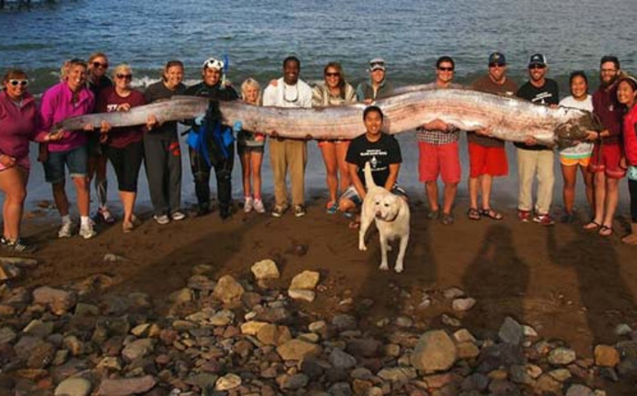 This handout photo received on October 16, 2013 courtesy of Catalina Island Marine Institute shows a crew of sailing school vessel Tole Mour and Catalina Island Marine Institute instructors as they hold an 18-foot-long oarfish. Picture: AFP.