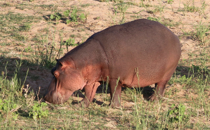 Hippo. Picture: Supplied