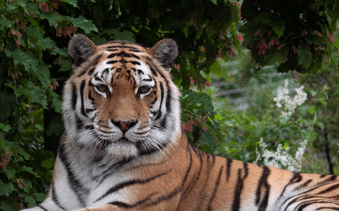 FILE: A Siberian tiger is seen in its enclosure at Schoenbrunn Zoo in Vienna, Austria on May 31, 2020. Zoos and animal parks re-opened in Austria after a lockdown due to the new coronavirus. Picture:  AFP
