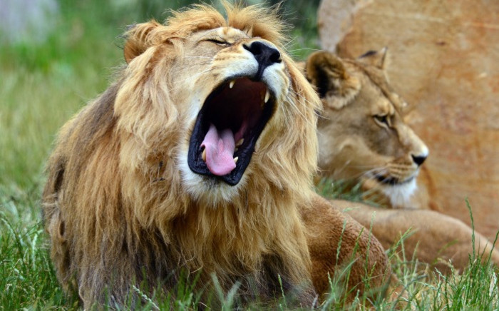 A lion and lioness. Picture: AFP.