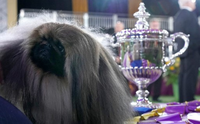 Wasabi the Pekingese dog is seen with the trophy after winning Best in Show at the 145th Annual Westminster Kennel Club Dog Show 13 June 2021 at the Lyndhurst Estate in Tarrytown, New York. Picture: Timothy A Clary/AFP