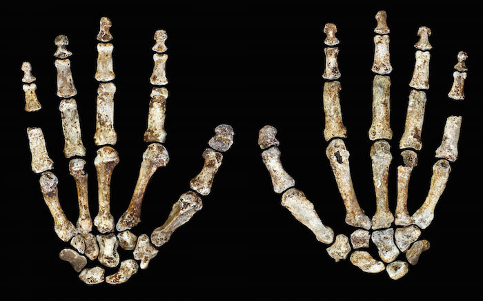 Homo Naledi's long, curved fingers are one of its most extraordinary features. Picture: Supplied.