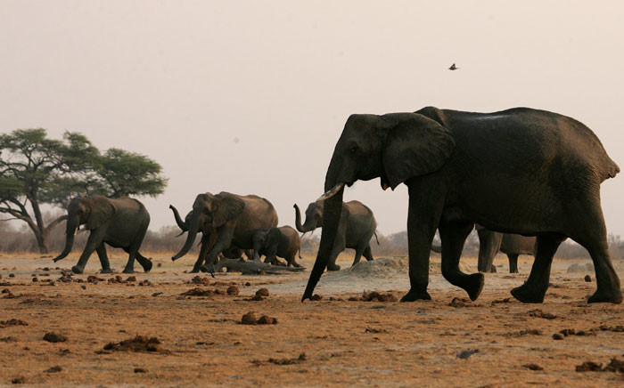 FILE: A herd of elephants raise their trunks on their way to a watering pan supplied with water pumped from boreholes powered by more than 45 diesel-powered generators which run continuously to ensure a steady supply of water for animals in the arid Hwange National Park on 6 September 2012. Picture: AFP