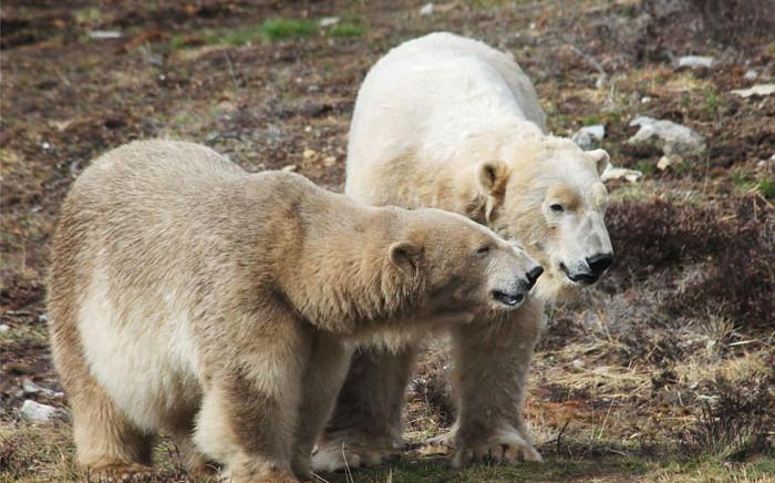 Polar bears at the Highland Wildlife Park in northeastern Scotland. Picture: @HighlandWPark/Twitter
