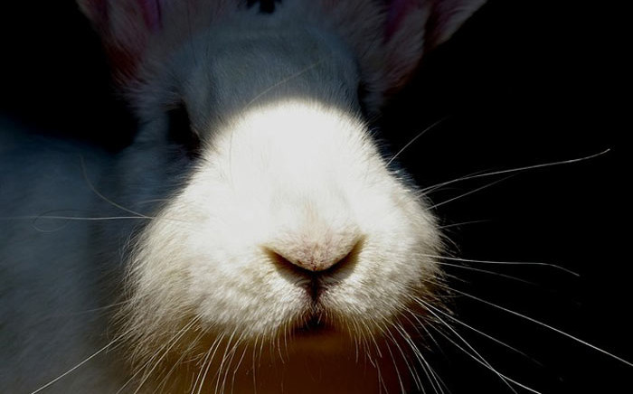 """FILE. Ten thousand rabbits were shot by more than 300 hunters in 27 teams during the 24-hour """"bunny hunt"""", which began on Good Friday. Among the hunters were a few ferrets, according to organiser Eugene Ferreira. Picture: Free Images."""