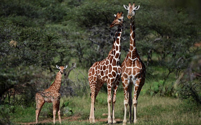 FILE: In Kenya, as across the wider African continent, the world's tallest mammals are less abundant than they once were, their numbers having quietly yet steadily declined in recent decades. Picture: AFP