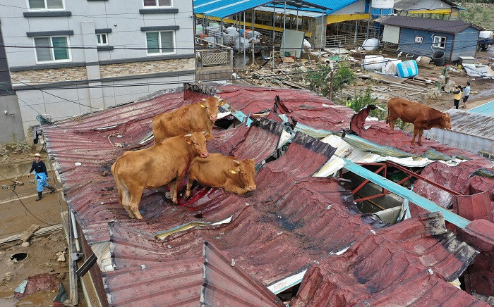 This photo taken on 9 August 2020 shows cows stranded on a rooftop after seeking refuge there during heavy flooding only to be stranded once the floodwaters receded, at a farm in Gurye, Jeolla province. Picture: AFP