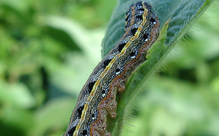 An armyworm. Picture: Pixabay.com.
