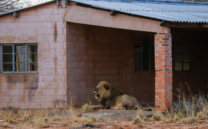 Mvuu the lion on the stoep of the workshop at an old ranger station in a remote corner of Zimbabwe's Hwange National Park. Picture: Jozibanini Camp, Imvelo Safari Lodges