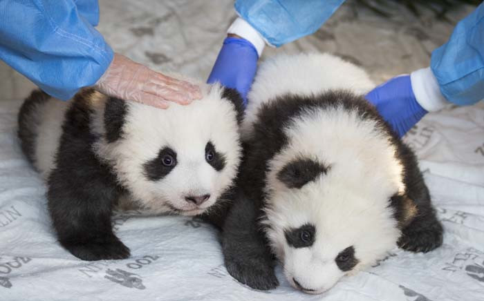 The two giant panda cubs 'Meng Yuan' (L) and 'Meng Xiang' are presented to the media after they were given their names at the Zoologischer Garten zoo in Berlin on 9 December 2019. Picture: AFP.