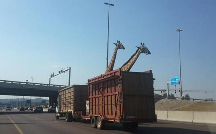 """A giraffe died en route to Kameeldrift when the animal hit its head on the Garsfontein Bridge on the N1 in Pretoria east on Thursday. Picture: Thinus Botha @thinusb_, Twitter"""""""