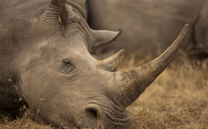 FILE: The park says it often moves rhino to other parks at this time of year to stimulate growth of the rhino population in other parts of the country. Picture: Beverly Joubert