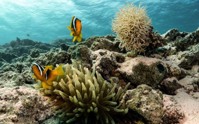 FILE: This picture taken on 6 September 2018 shows clownfish guarding an anemone in the Egyptian Red Sea marine reserve of Ras Mohamed, off the southern tip of the Sinai peninsula. Picture: AFP.
