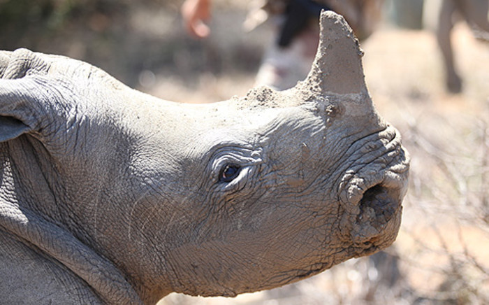An estimated 293 rhino have been killed in South Africa since the beginning of the year. Picture: EWN.