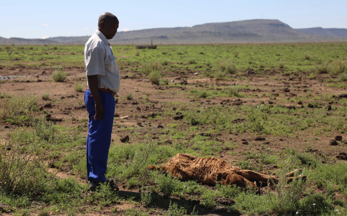 FILE: A farmer in the Free State stands next to a carcas of a cow that was lost in the drought. Picture: Christa Eybers/EWN.