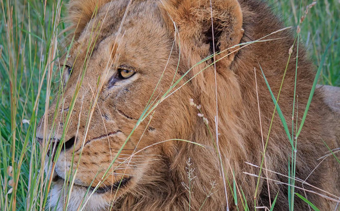 FILE: Today marks the 10th day since the three-year-old lion escaped from the Karoo National Park. Picture: Facebook