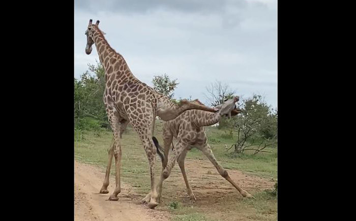 A screengrab of two giraffe battling it out for top spot in the Zambezi National Park