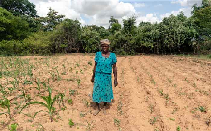 Josephine Ganye working in her wilting and stunted maize fields due to the unrelenting heat and poor rainfall in the drought prone Buhera in Zimbabwe in January 2020. Picture: AFP.
