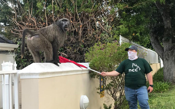 A volunteer resident marshalls Kataza the baboon as he wanders around the suburb of Tokai on 17 October 2020. Picture: Lizell Persens/EWN