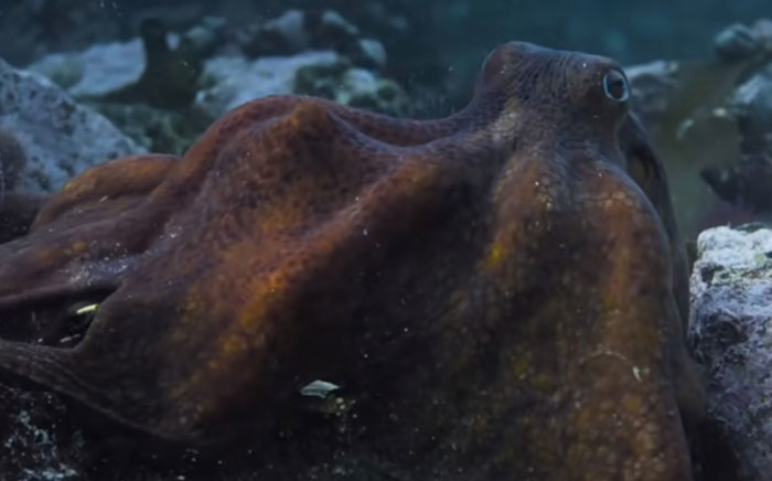 A screengrab from the Netflix documentary 'My Octopus Teacher. Picture: Netflix/YouTube