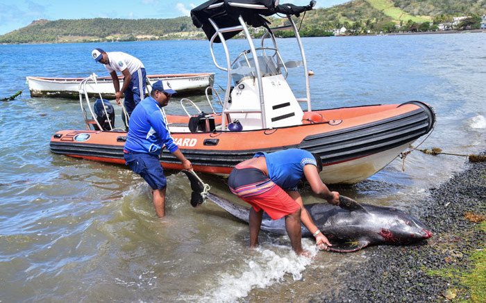 Men recover the carcass of melon-headed whale at the beach in Grand Sable, Mauritius, on 26 August 2020. Picture: AFP