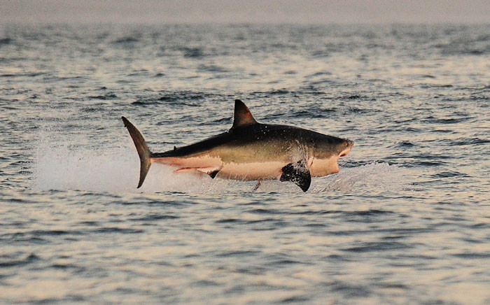 FILE: A great white shark jumps out of the water as it hunts Cape fur seals near False Bay, in 2010. Picture: AFP