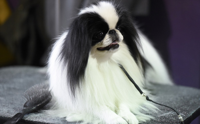A dog waits in the grooming area during the first day of competition at the Westminster Kennel Club 140 Annual Dog Show on 16 February, 2016 in New York City. Picture: AFP.