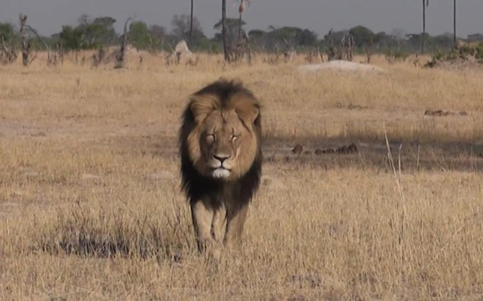 Cecil the lion was shot and killed by a dentist. Picture: CNN.