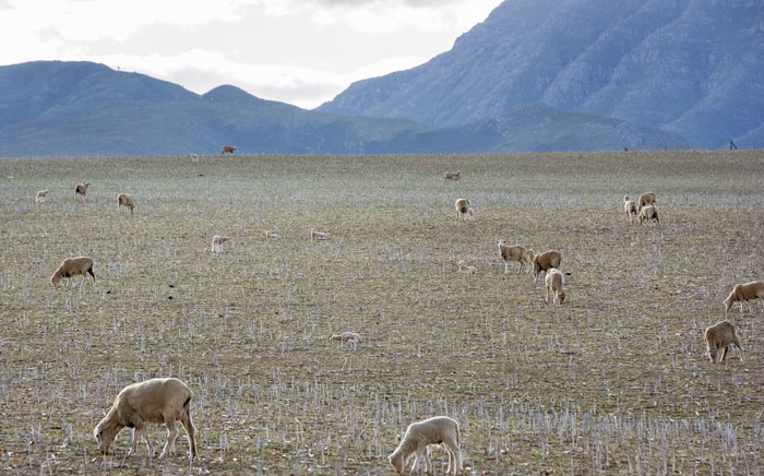 FILE: Sheep grazing in a field on a South African farm. Picture: AFP