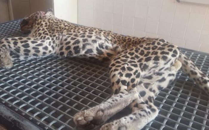 The leopard after capture for examination. Picture: SanParks.