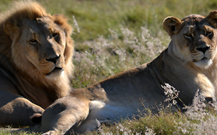 Limpopo SAPS confirm all 7 lions that escaped from game reserve recaptured - EWN