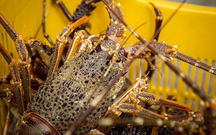 Dept extends West Cost rock lobster catching season - Eyewitness News