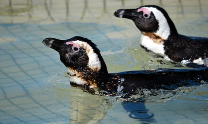 Oiled penguins recover at the Sancobb seabird rescue centre in Cape Town on 3 September 2012 after more oil leaked from the wreck of the Seli 1. Picture: Aletta Gardner/EWN