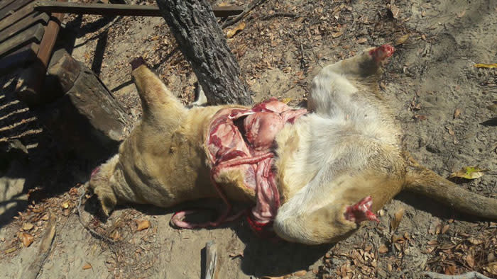 One of the lions found mutilated in Vaalwater, outside Lephalale. Picture: Koketso Motau/EWN