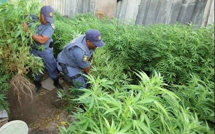 Police swooped on a dagga plantation with an estimated street value of R1.7 million in Philippi. Picture: @SAPoliceService via Twitter