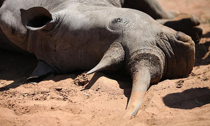 A dead rhino at the Finfoot Lake Reserve. Picture: Taurai Maduna/EWN.