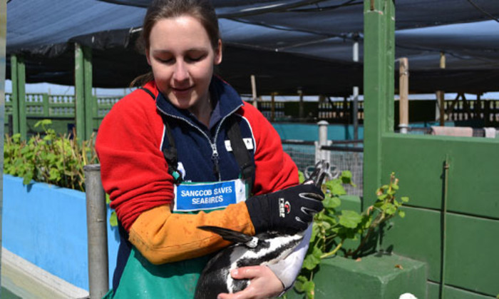 Bird rehabilitater Marguerite du Preez moves one of nine oiled penguins at the rescue centre in Cape Town on 3 September 2012 after they were caught on Robben Island. It followed another oil leak from the wreck of the Seli 1. Picture: Aletta Gardner/EWN