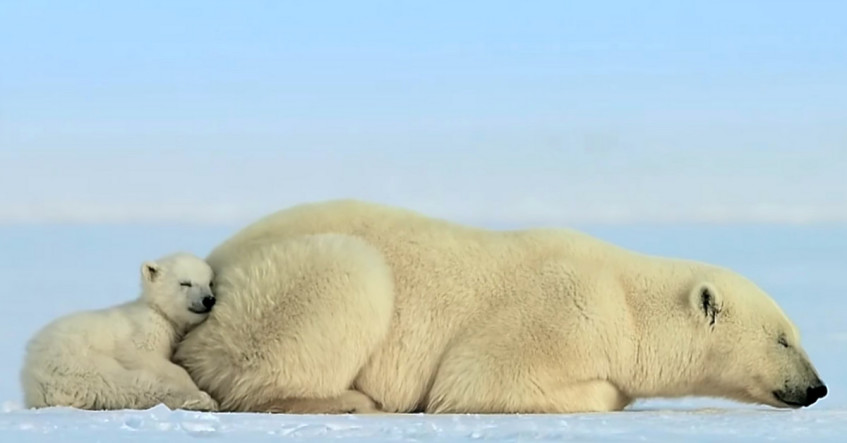 Cutest Polar Bear Pictures