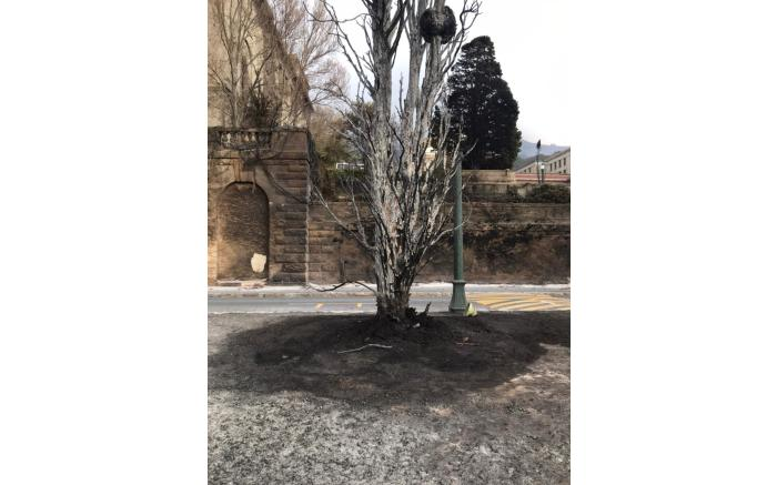 The remains of a charred tree on UCT's upper campus. Picture: Lizell Persens/Eyewitness News