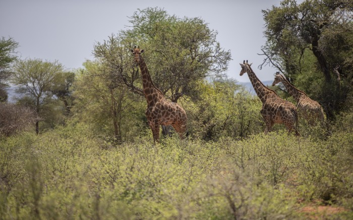 A group of giraffes in the Palala game lodge and spa, during a safari drive.